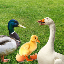 All About Ducks and Geese